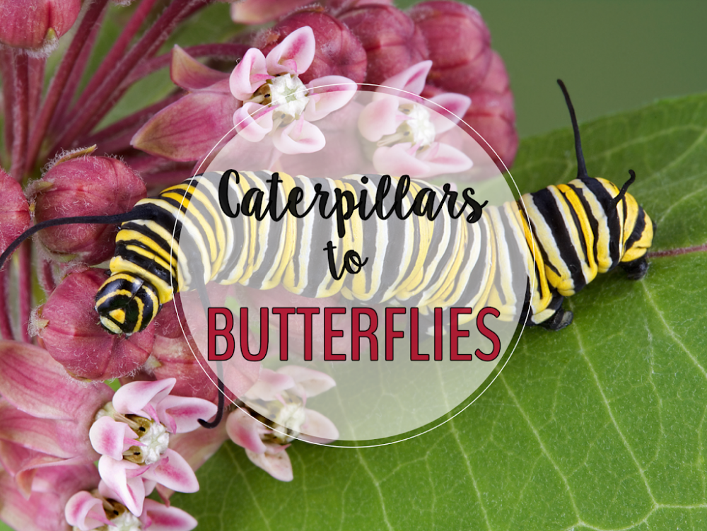 Caterpillars in your classroom is a wonderful hands-on science project about life cycles and it also creates excitement that makes teaching cross-curricular topics a joy, because your students will be so engaged!